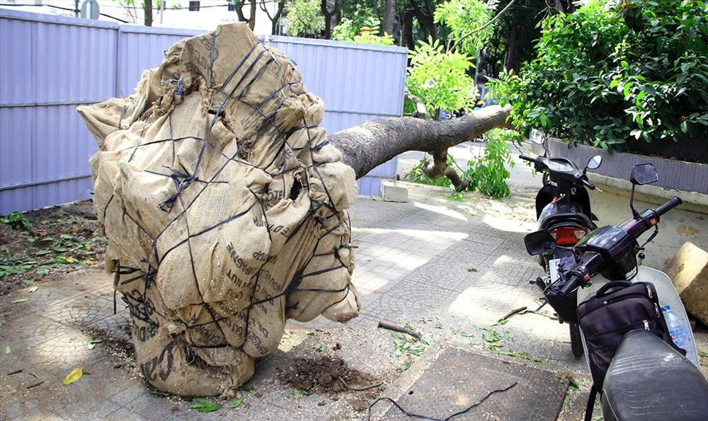 Những cây còn trẻ, khỏe, có khả năng tái sinh sau sẽ được bứng dưỡng ở DDH Nông Lâm, sau này sẽ trồng lại khi cầu hoàn thành. Ảnh: Trường Sơn