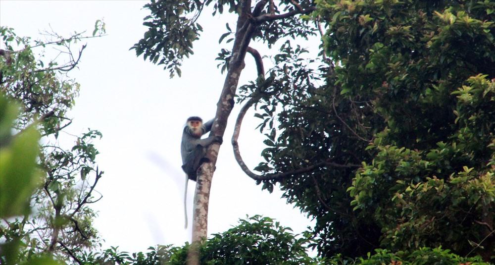 Đàn Voọc Chà vá chân xám ở Hòn Dồ, Núi Thành, Quảng Nam / ảnh WWF