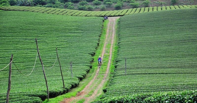 Những đồi chè xanh mướt tầm mắt là đặc sản của thung lũng này.