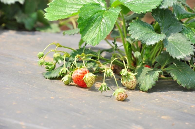 Đừng bỏ qua việc đi hái những trái dâu chín mọng ngon tuyệt nhé!