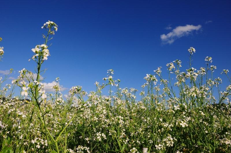 Hoa cải trắng trên nền trời xanh thẳm.