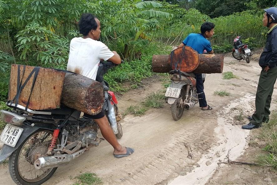 Những súc gỗ hương lâm tặc giấu ở bờ suối được người dân phát hiện và vận chuyển trong ngày 14.11. Ảnh: Hưng Thơ.