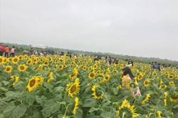 """Giới trẻ """"phát sốt'' với cánh đồng hoa hướng dương tại Thái Bình"""