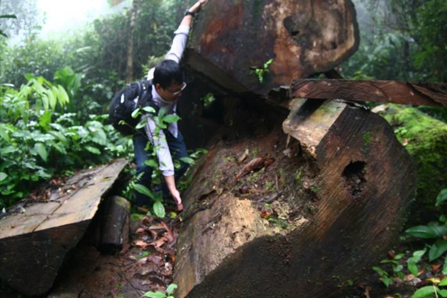 Ảnh phá tan rừng pơ mu cổ thụ và các loài gỗ quý ở Yên Bái mà PV LĐ từng chứng kiến trong những năm qua.