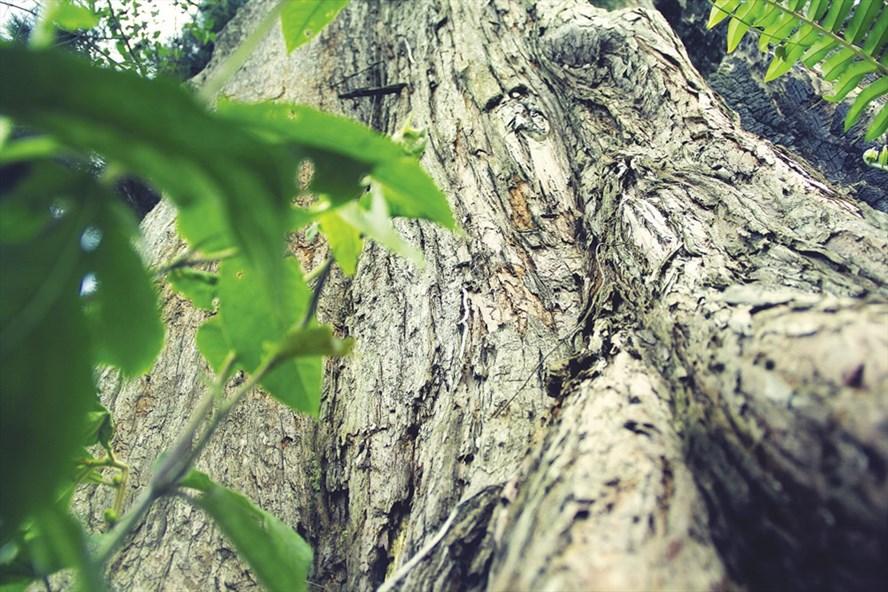 Cây thủy tùng cổ thụ khoảng 500 tuổi tại khu bảo tồn Trấp K'sor, huyện K rông Năng. Ảnh: H.L