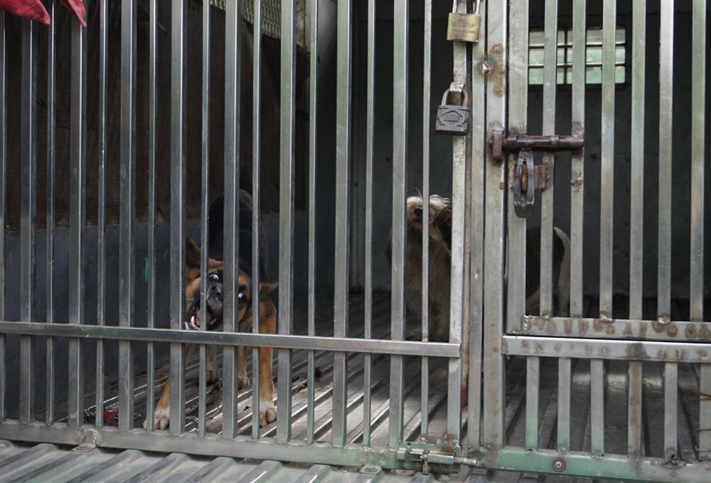 Khi bị nhốt trong xe, con chó liên tục sủa inh ỏi và dùng răng cắn vào các thanh sắt trong lồng.