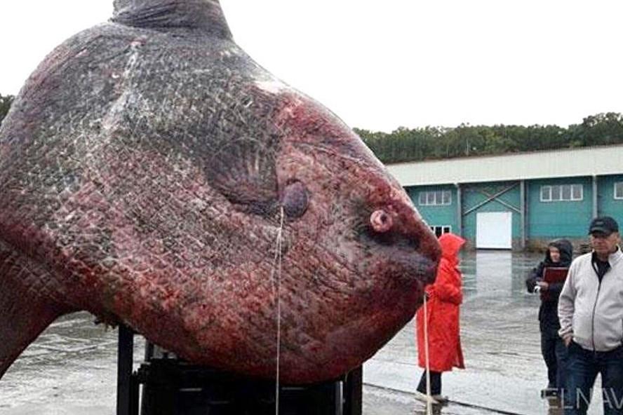 Ngư dân Kuril đã phải mất 3 ngày để kéo được con cá mặt trăng khổng lồ này lên bờ.