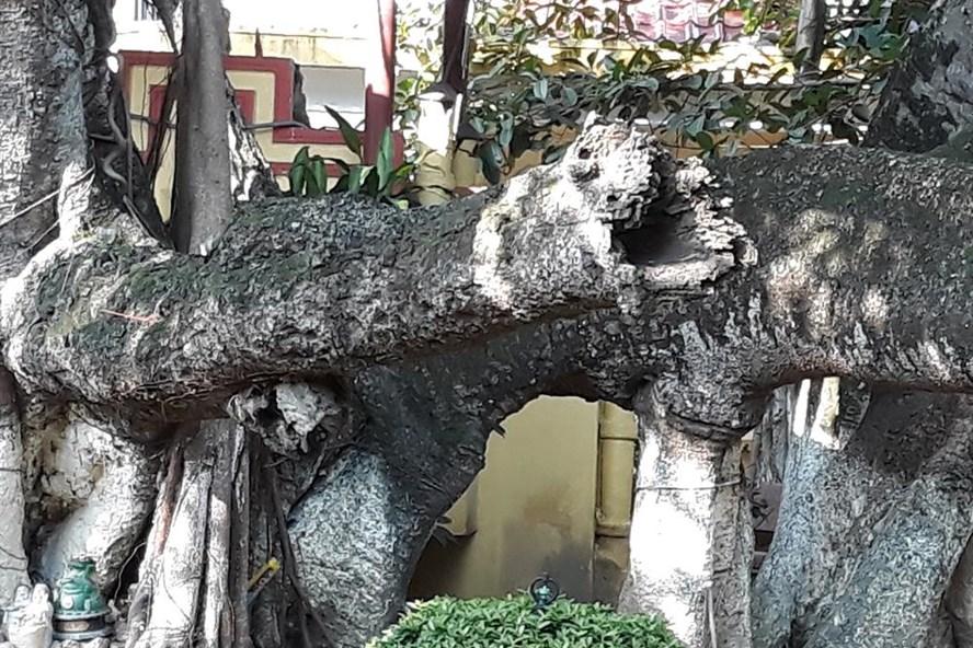 Cây đa 13 gốc tại xóm Trại (P. Đằng Giang, Q. Ngô Quyền, TP. Hải Phòng), được coi là cây đa lớn nhất Việt Nam - Ảnh TN