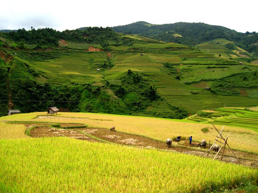 Lúa đã bắt đầu được gặt