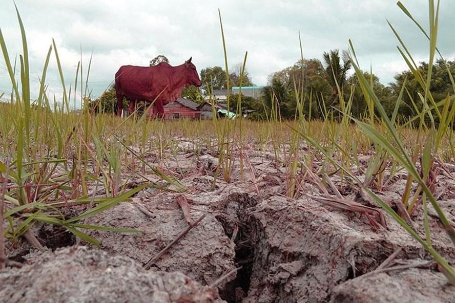 Đồng ruộng của tỉnh Bến Tre bị nhiễm mặn, cạn khô mấy tháng trời năm 2016. Ảnh: Vietnamnet.