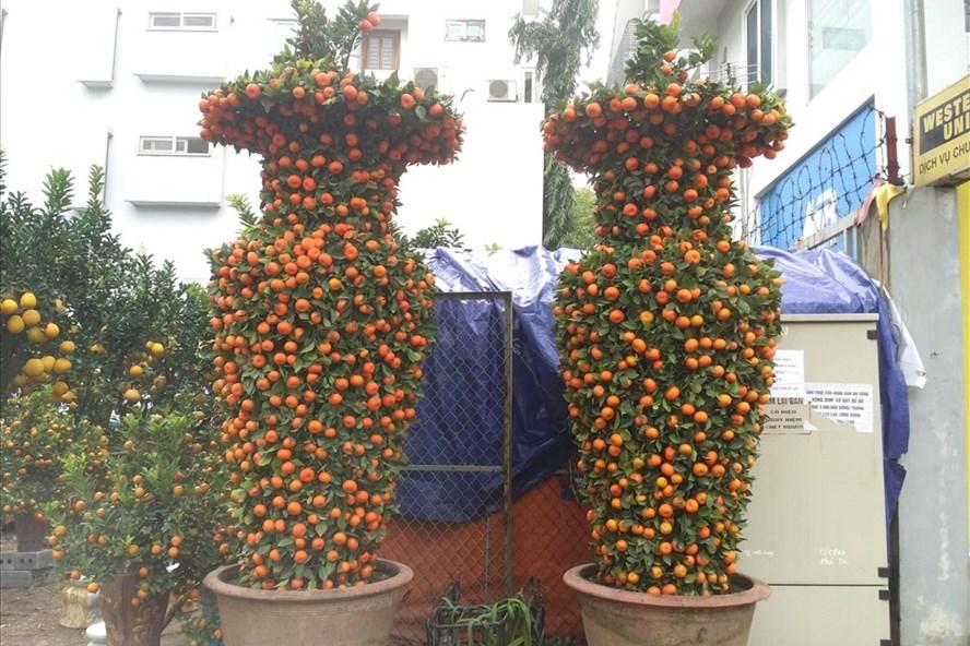 Cặp quất lộc bình có giá tới 45 triệu đồng được một nhà vườn ở Hoài Đức đưa về nội đô Hà Nội chờ khách mua chơi Tết. Ảnh: PV