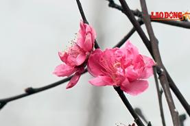 Người Nhật Tân hồ hởi đón vụ đào Tết trúng vụ, hoa nở đẹp