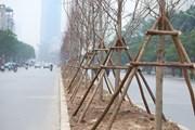 Ai dám chắc phong lá đỏ chịu nổi khí hậu lên đến 42 độ ở Hà Nội?