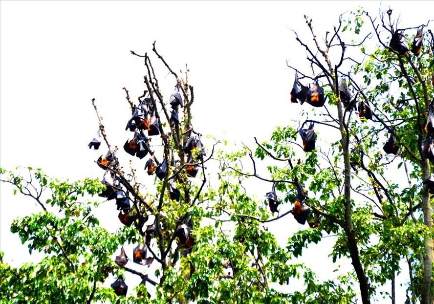 Dơi quạ trong khuôn viên chùa Hưng Long. Ảnh: Lục Tùng
