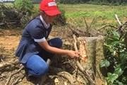 Phá rừng ở Bình Phước: Xử lý rất khó hiểu!