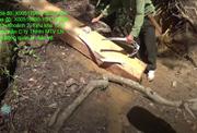 Tàn sát 48 Pơ mu lớn tại rừng Đắk Lắk