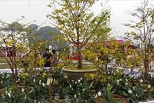 Không thu phí vào Lễ hội hoa Anh đào - Mai vàng Yên Tử 2018