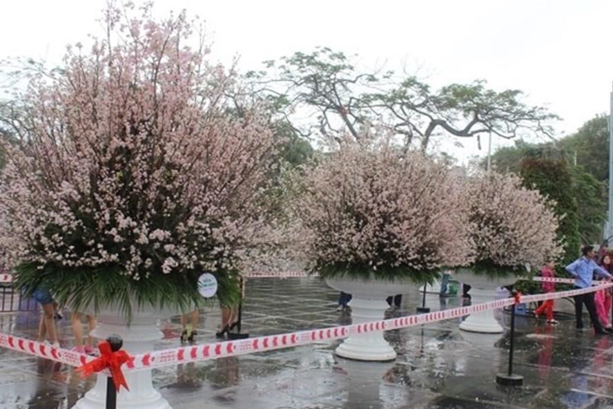 Hoa anh đào Nhật Bản được triển lãm tại Hải Phòng năm 2017