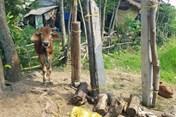 Vụ bò giống cấp phát được bán cho lò mổ: Sẽ trả lại tiền cho nhà nước nếu được yêu cầu
