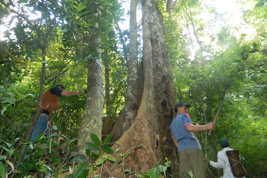 Không tâm thư, không bảng cam kết nhưng người dân xã Trà Giang, huyện Trà Bồng, Quảng Ngãi đã bảo vệ thành công những cánh rừng với những gốc cây cổ thụ. Ảnh: NĐT