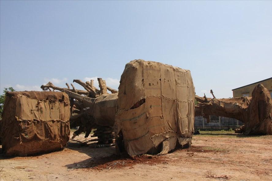 Hiện các nhà chức trách vẫn chưa truy tìm được nguồn gốc của ba cây cổ thụ khủng này. Ảnh: NĐT