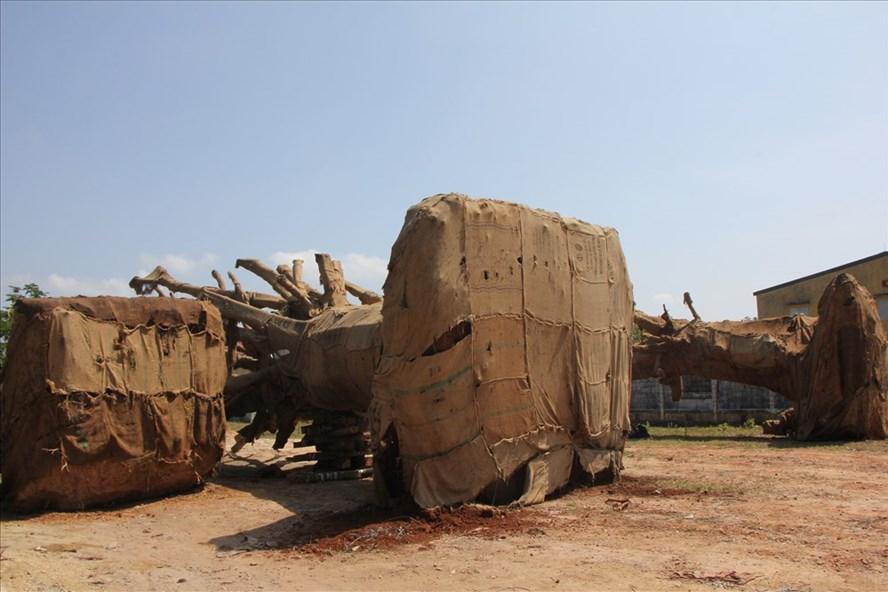 Ba cây đa sộp được vận chuyển về Hà Nội làm bóng mát. Ảnh: NĐT