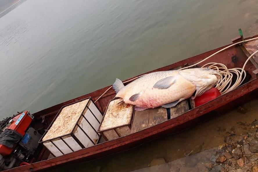 Con cá trắm đen 61kg choán hết chỗ ngồi trên thuyền.
