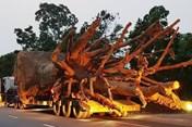 """Một xe chở cây """"khủng"""" dừng ở khu đô thị Ecopark 2 ngày"""
