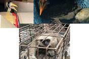 Quảng Ninh: Bắt giữ chiếc xe 7 chỗ vận chuyển nhiều cá  thể chim, vượn quý hiếm
