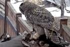 Thế giới động vật: Cú mèo xé xác, kéo đứt đầu chim ưng