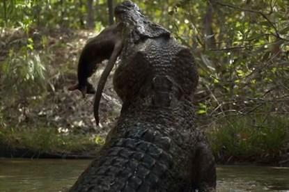"""Thế giới động vật: Kinh hoàng trước cảnh """"sát thủ đầm lầy"""" nuốt chửng con mồi"""