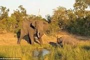 Thế giới động vật: Đại chiến với voi, tê giác bị húc ngã sấp mặt