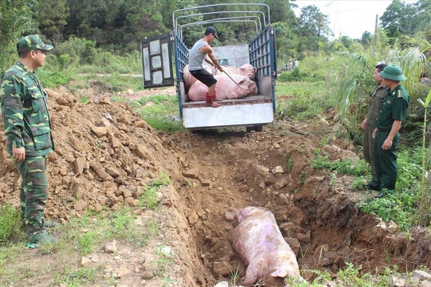 Cơ quan chức năng tiêu hủy lợn hơi được buôn lậu qua biên giới. Ảnh: PV