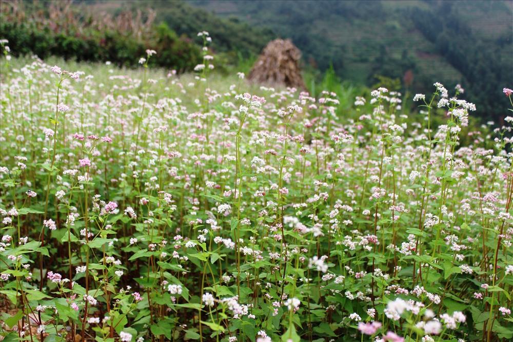 Hà Giang đẹp, vẻ đẹp ấy còn ở những cung đường uốn lượn, hoa tam giác mạch đang mùa nở rộ.