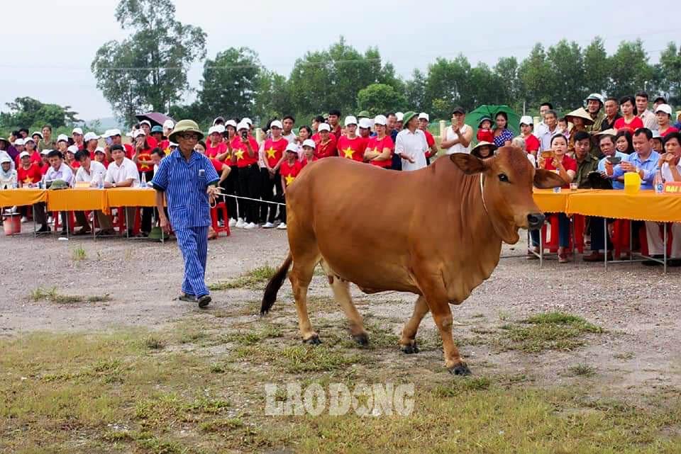 """Được biết, hội thi có 2 phần: Thi tìm hiểu kiến thức chăn nuôi dành cho các chủ nuôi bò và thi chấm điểm trực tiếp trên mỗi """"nàng"""" bò. Sau các vòng thi, ban tổ chức đã chọn ra những chủ hộ có kiến thức nuôi bò tốt nhất, những con bò cái đẹp nhất để trao giải Nhất, Nhì, Ba và nhiều giải Khuyến khích cho các hộ dân. Ảnh: NVCC"""