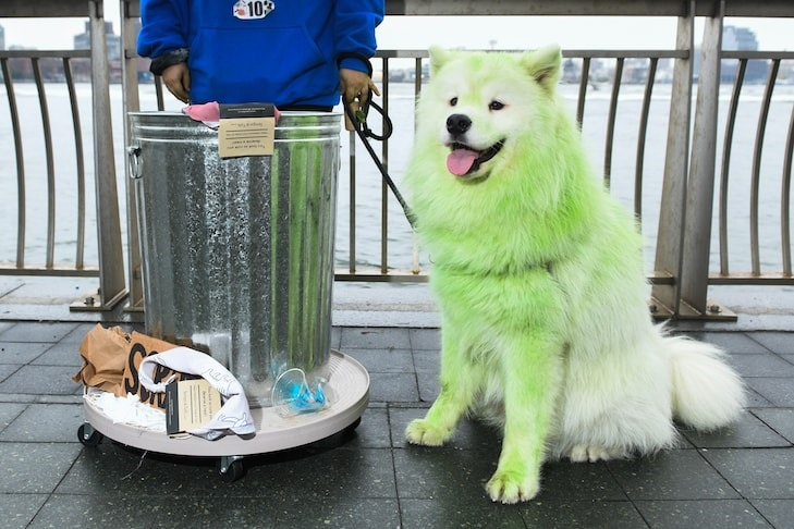 Nụ cười rạng ngời của em Samoyed khi được nhuộm bộ lông mới để đi chơi lễ hội. Ảnh: NYDailynews.
