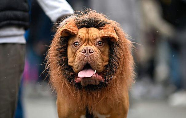 Ước mơ nồng cháy được làm Lion King. Ảnh: AHP.
