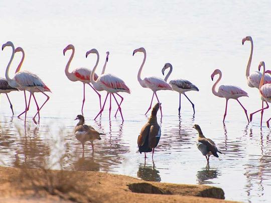Thành phố của chim hồng hạc. Ảnh: Gulf News.