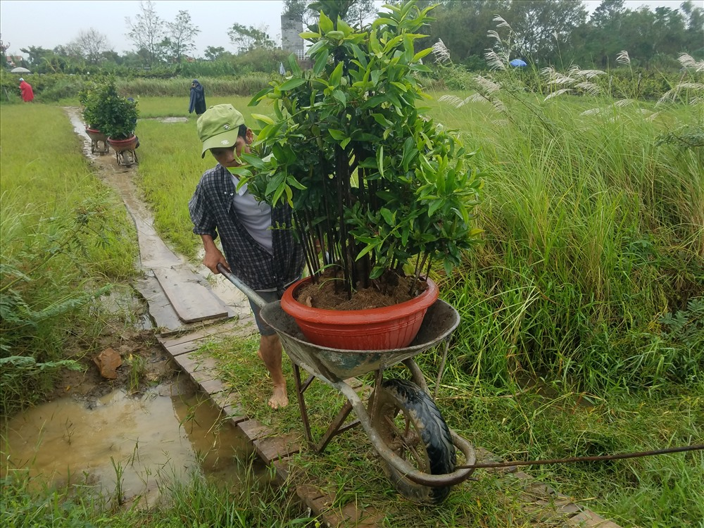 Nguyễn Thành Khẳng (45 tuổi, thôn Trung Lý, xã Nhơn Phong) cho hay, với giá 15 ngàn/chậu, vào những ngày cao điểm ông Khẳng có thể kiếm được 400-500 ngàn/ngày.