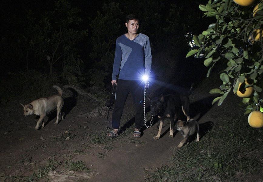 Ngay từ khi bắt đầu vào vụ thu hoạch là các hộ trồng bưởi phải ăn ngủ tại vườn, nuôi thêm chó dữ canh gác tại những điểm khuất tầm nhìn.