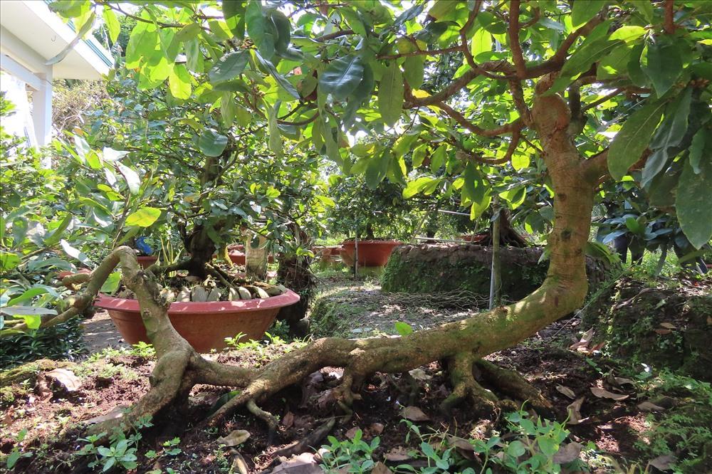 Hình ảnh con rồng của cây mai được hiện rõ trên thân cây. Ảnh: S.H