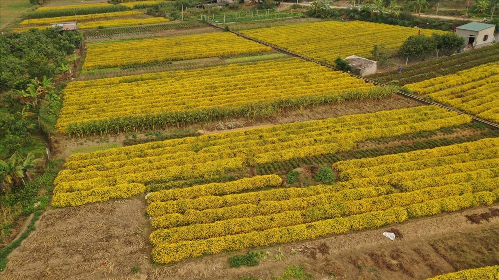 Vườn cúc tiến vua rộng gần 2ha của gia đình chị Diễm đang vào độ thu hoạch nên nở vàng rực cả một góc trời. Ảnh: NT