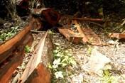 Phá rừng nghiêm trọng tại Vườn Quốc gia Phong Nha – Kẻ Bàng