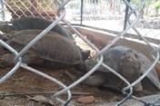 Tịch thu hơn 30kg rùa nghi là cá thể quý hiếm ở một quán càphê