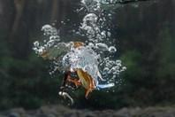 Thế giới động vật: Kinh ngạc xem bói cá lặn dưới nước để săn mồi
