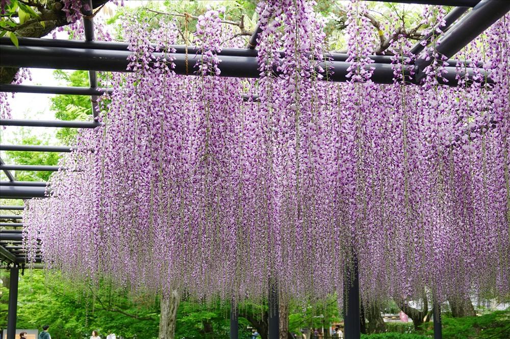 Hoa tử đằng như cơn mưa màu tím huyền diệu đang bung sắc; lại thêm mùi hương nhè nhẹ giữa không gian cổ kính của các ngôi chùa gần một nghìn năm tuổi... Ảnh: DH.
