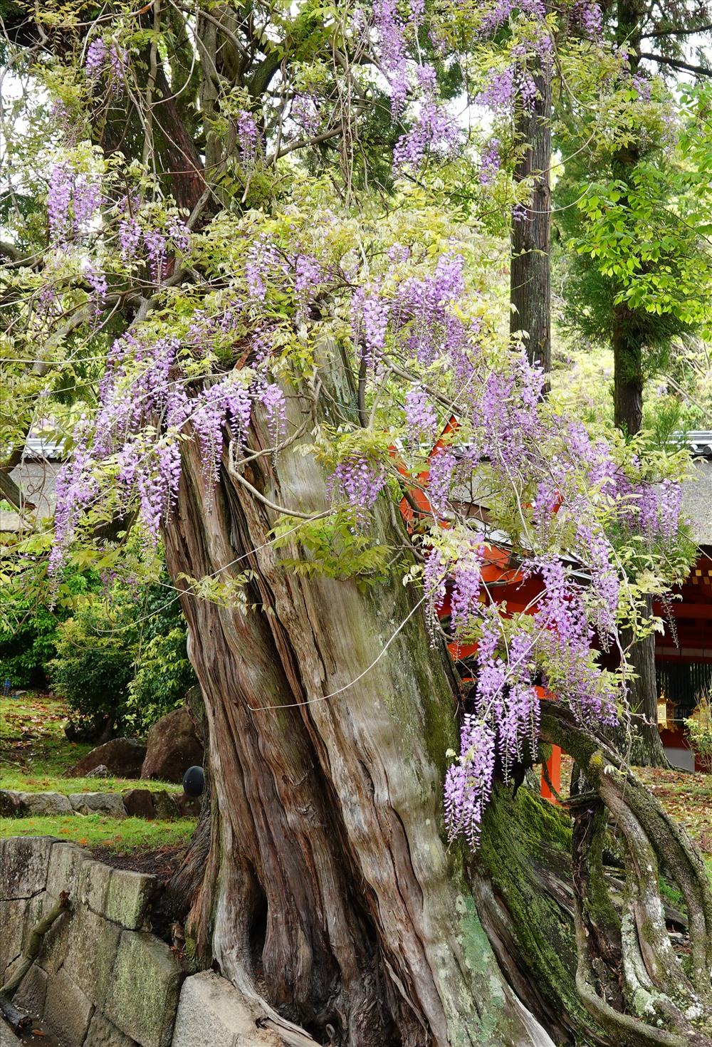 Là một loại hoa với thân dạng dây leo, nhưng qua vài thế kỷ tỏa hương khoe sắc, các cây tử đằng đã trở thành kỳ quan cổ thụ. Với người Nhât, mỗi màu hoa (như trắng, tím...) lại tượng trưng cho một giá trị sống đáng ao ước khác nhau của cõi đời. Ảnh: D.H
