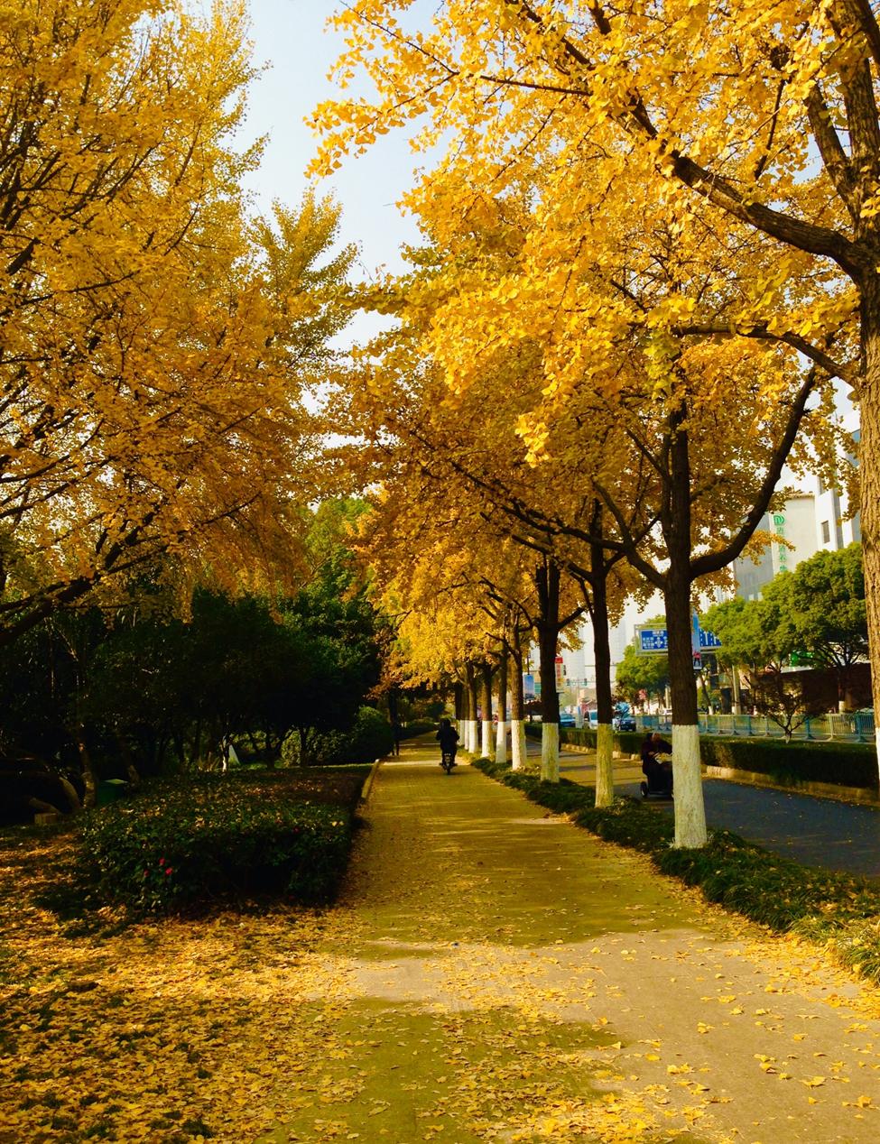 Một con đường rợp lá vàng của cây Ngân hạnh - loài cây được trồng khắp nơi ở Tô Châu