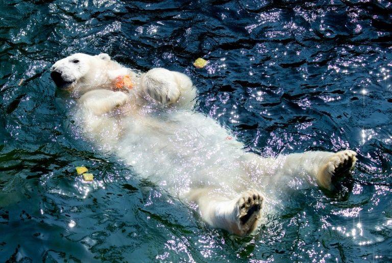 Một chú gấu bắc cực tại sở thú Hanover ngâm mình trong nước khi nắng nóng. Ảnh: AFP.