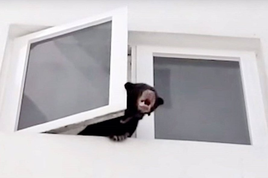 Con gấu chó thò ra ngoài cửa sổ chung cư ở Desa Pandan, Kuala Lumpur. Ảnh: CNA.